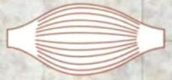 веретенообразная мышца