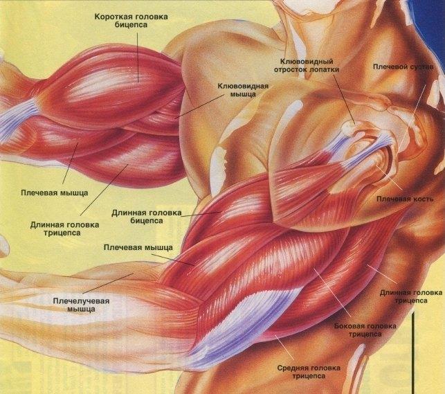 мышц руки. анатомия