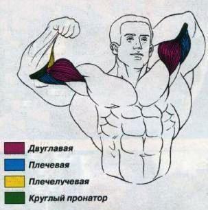 упражнение на бицепс молот 2